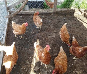 Photo of chickens